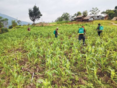 Crops infested by Fall Armyworms at Senapati, reports DAO
