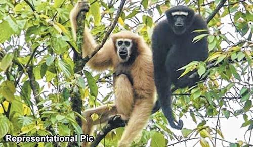 Hoolock Gibbon's survival