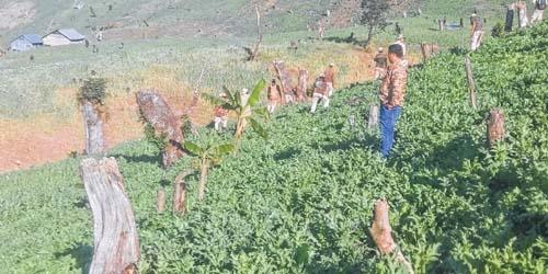 Poppy cultivation : Study